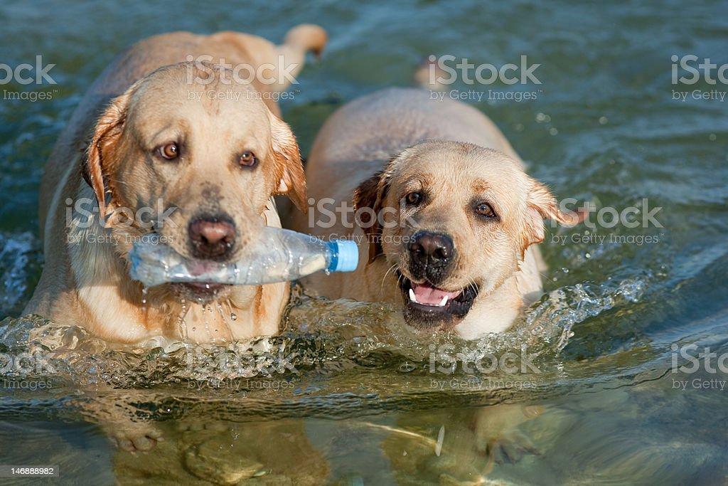 Two Labradors at sea royalty-free stock photo