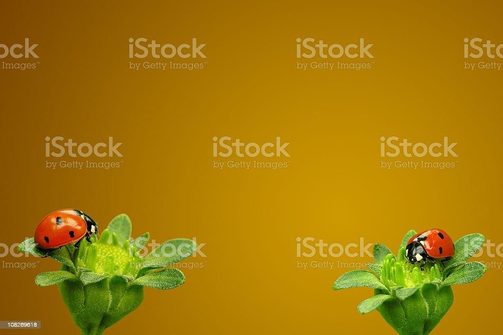 Two Ladybugs on Flowers royalty-free stock photo