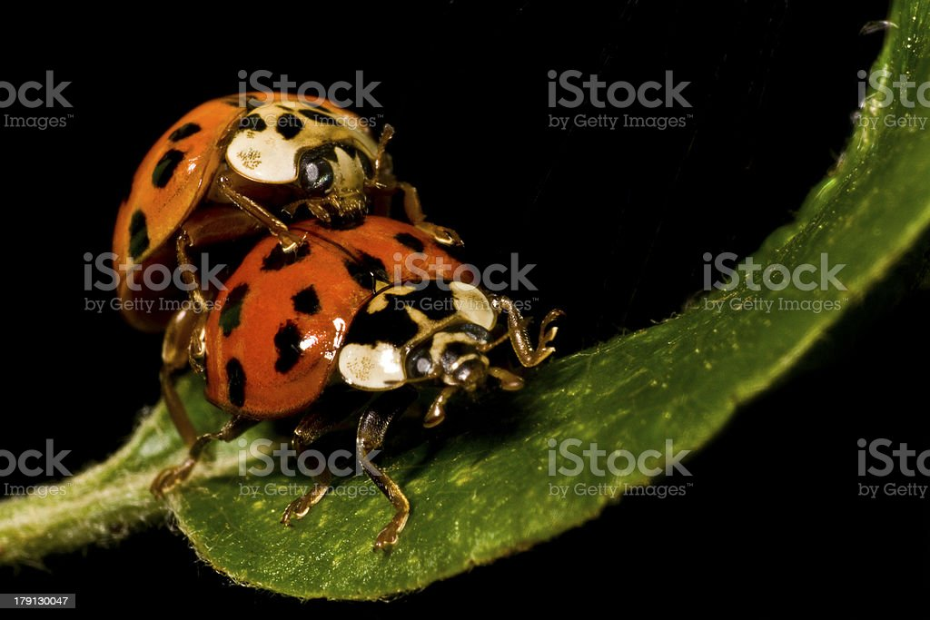 two ladybugs royalty-free stock photo