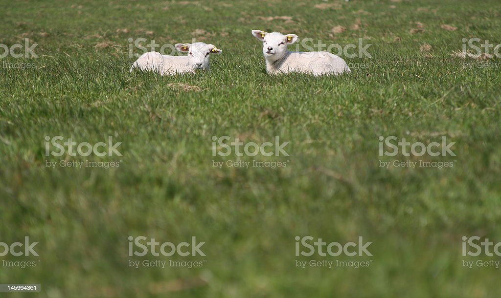 Two Lamb stock photo