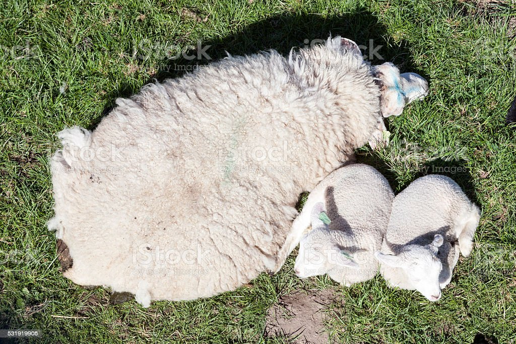 two lambs and mother sheep in green meadow stock photo