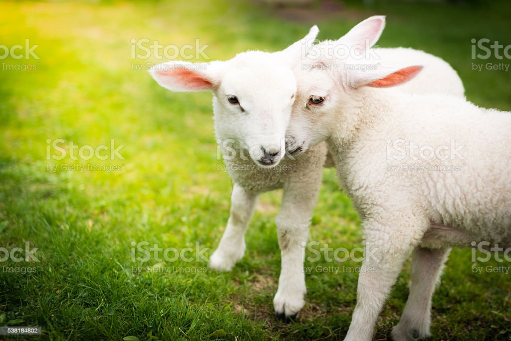Two lambs cuddling on the green field stock photo