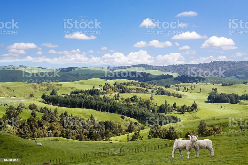 Two lambs grazing stock photo