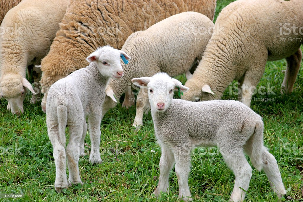 Two Lambs royalty-free stock photo