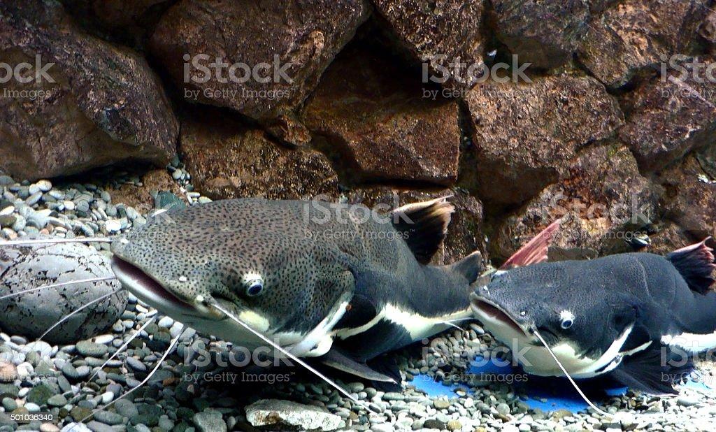 Two large catfish floating on bottom of river stock photo