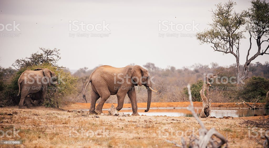 Two large elephants approaching a watering hole in African landsacpe stock photo