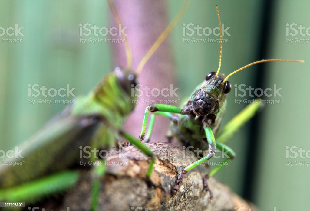 Two large green locusts stock photo