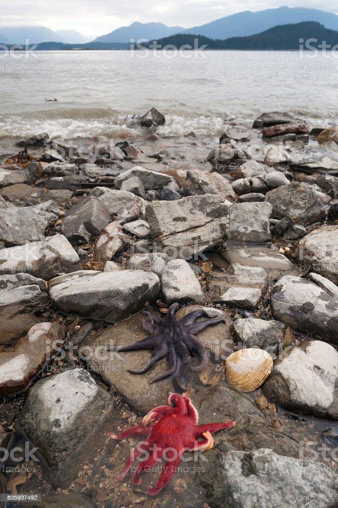Two large starfish on Juneau coast stock photo