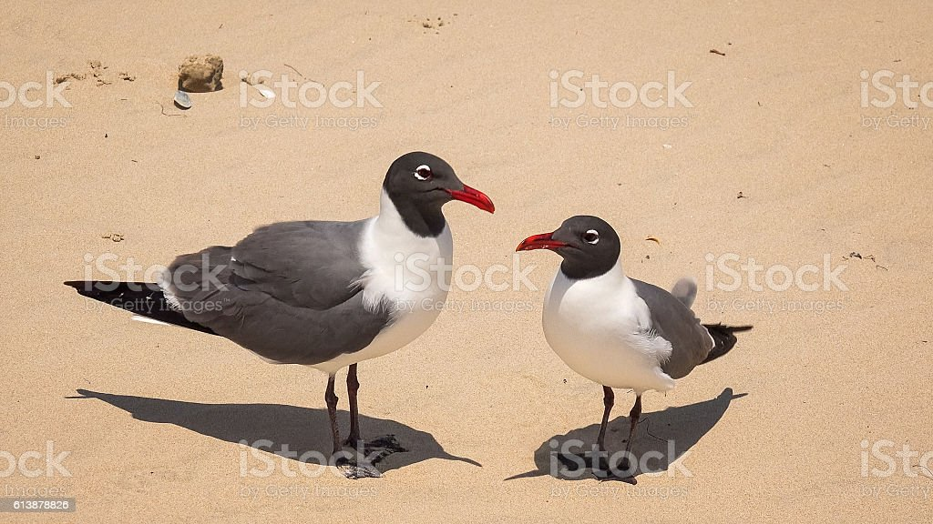Two Laughing Gulls (Larus atricilla) on South Padre Island Beach stock photo