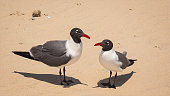 Two Laughing Gulls (Larus atricilla) on South Padre Island Beach