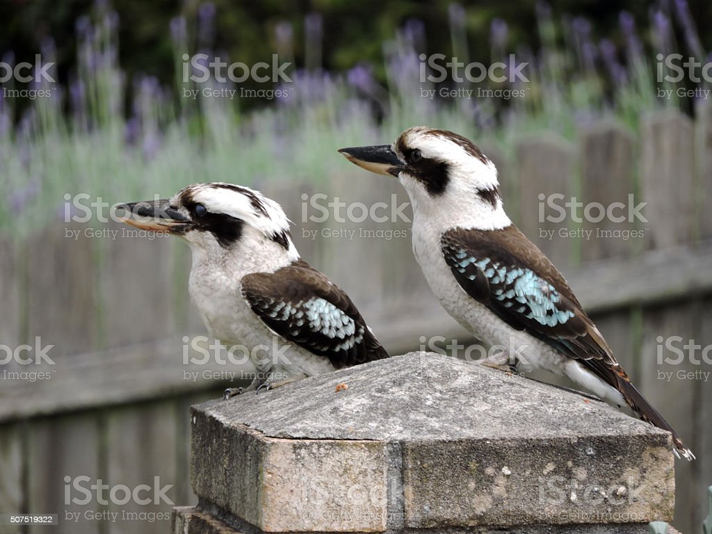 Two Laughing Kookaburras on a brick post stock photo