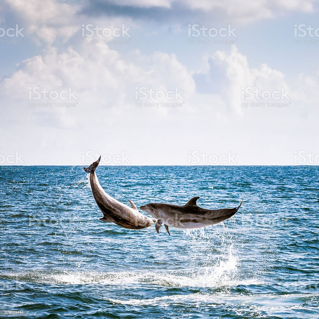 Two Leaping Wild Dolphins stock photo