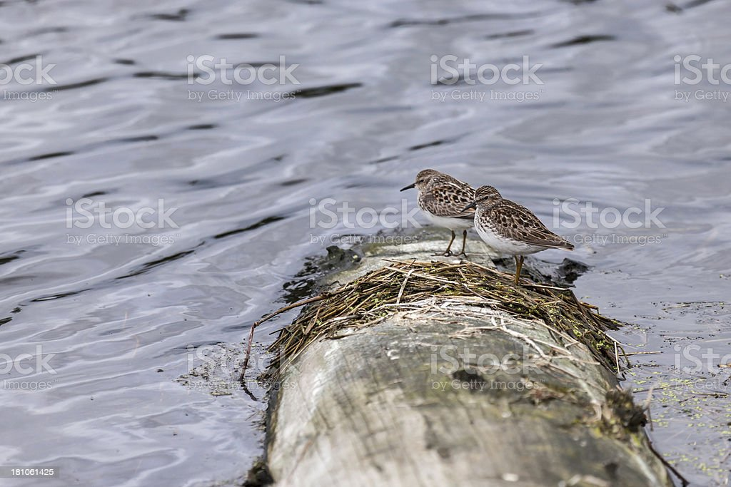 Two Least Sandpipers on a log stock photo