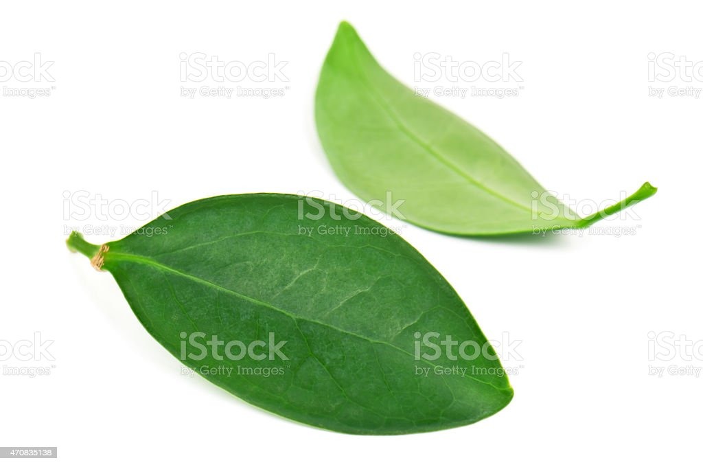 two leaves stock photo