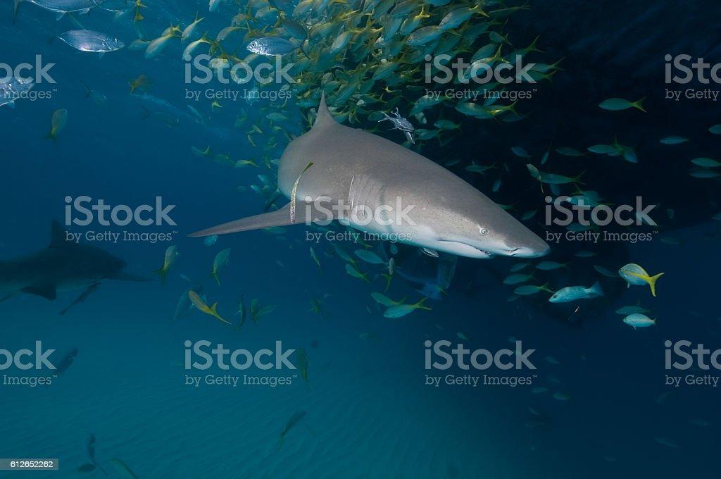 Two lemon sharks in the blue ocean stock photo