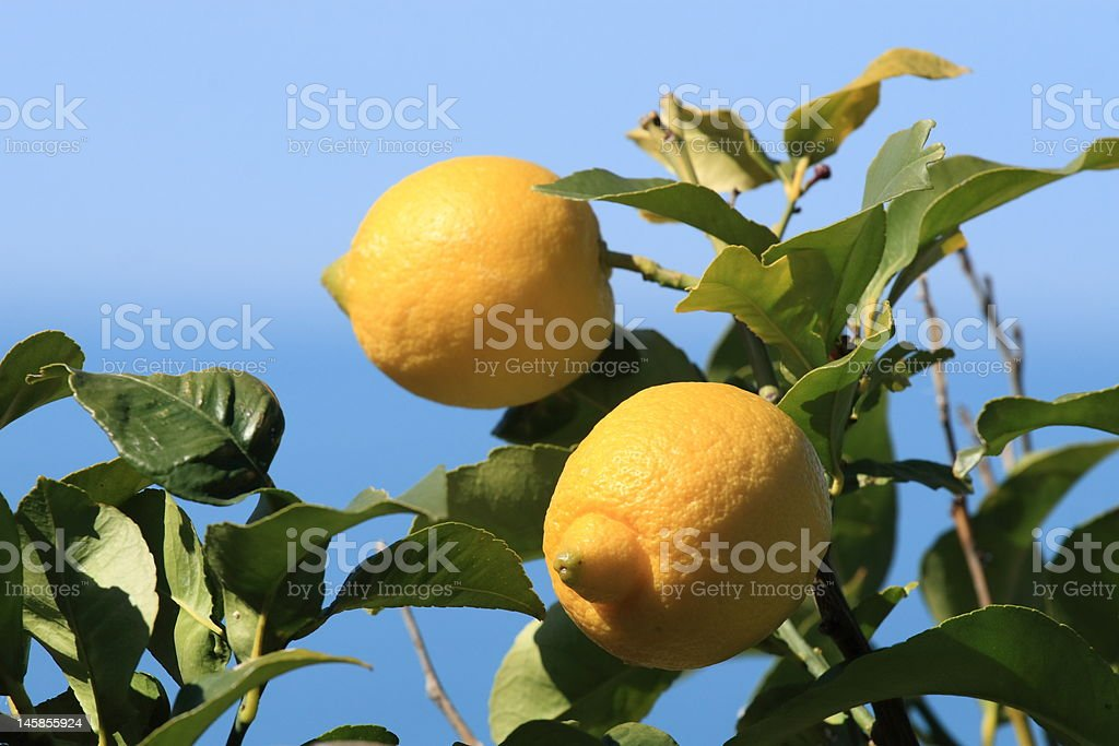 Two lemons royalty-free stock photo