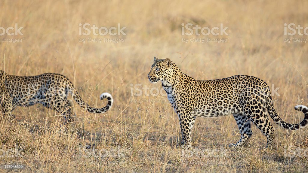 Two Leopards in the savannah - tails royalty-free stock photo