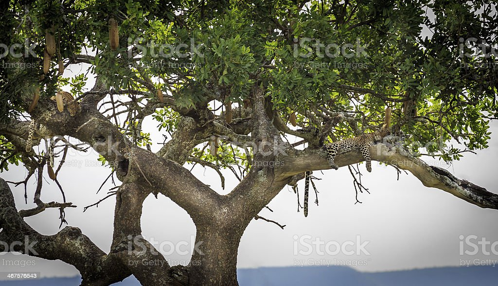 two leopards on tree stock photo
