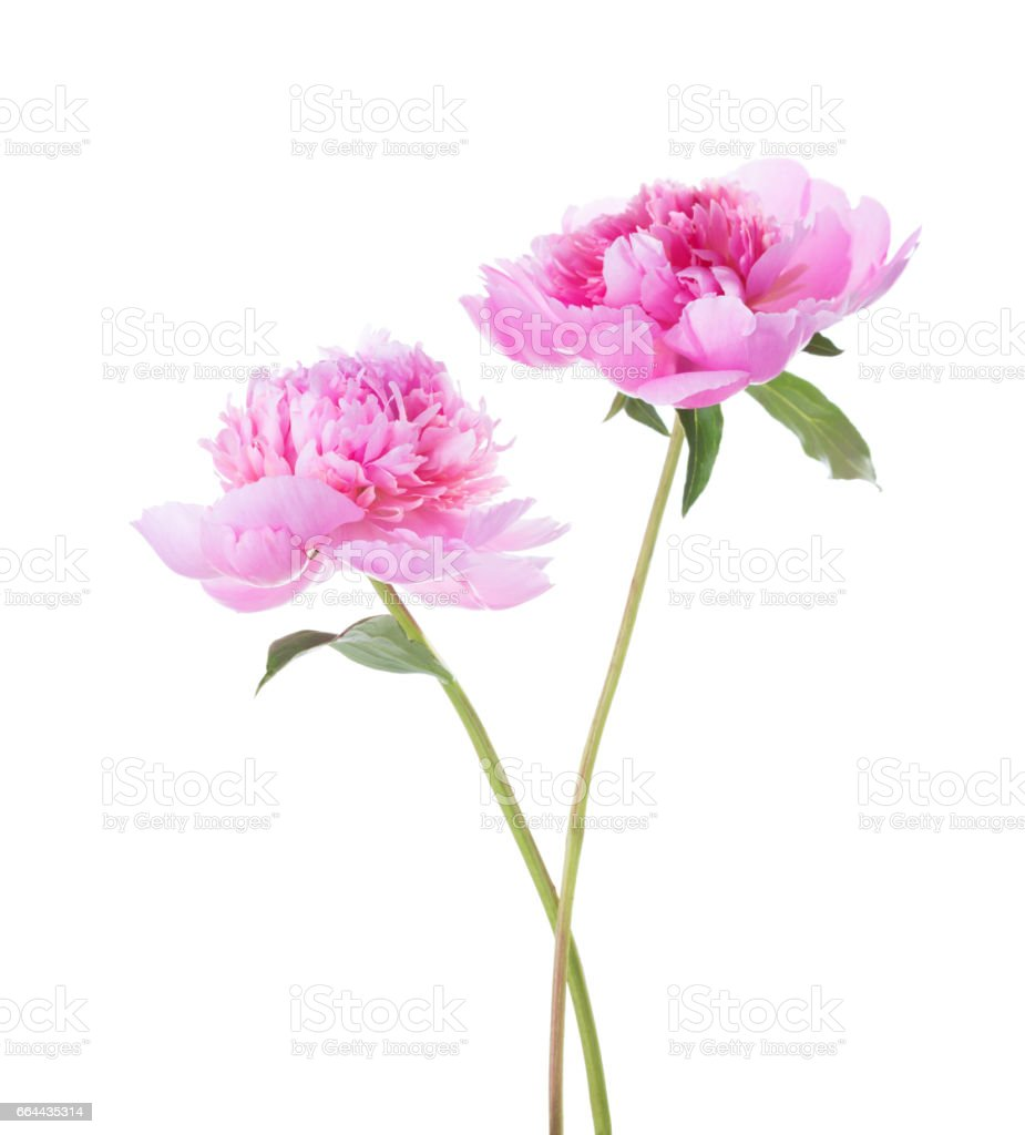 Two light pink peonies isolated on white background. stock photo