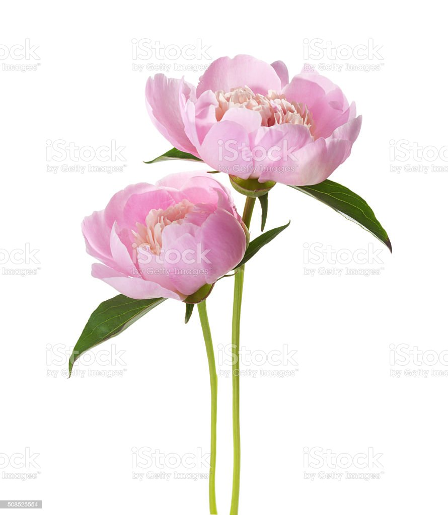 Two light pink peonies stock photo