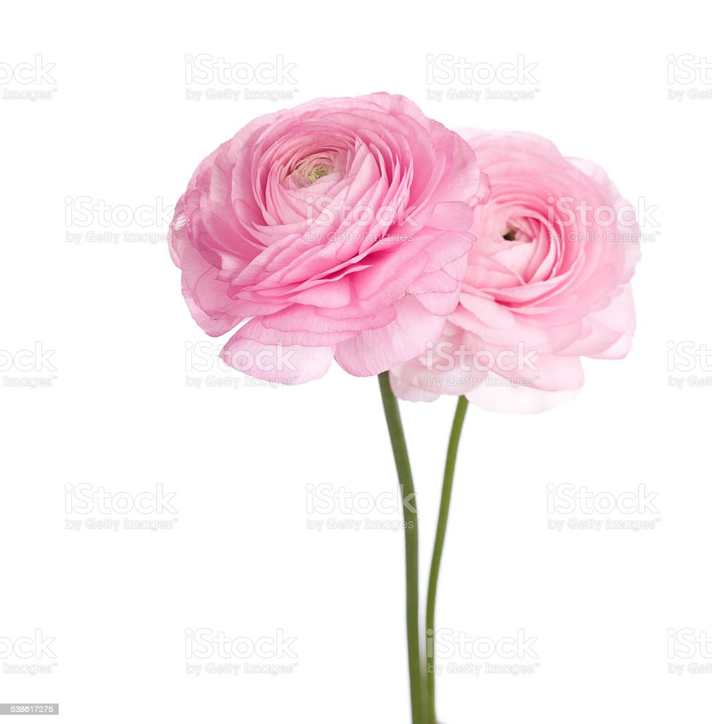 Two light pink  persian buttercup flowers. stock photo