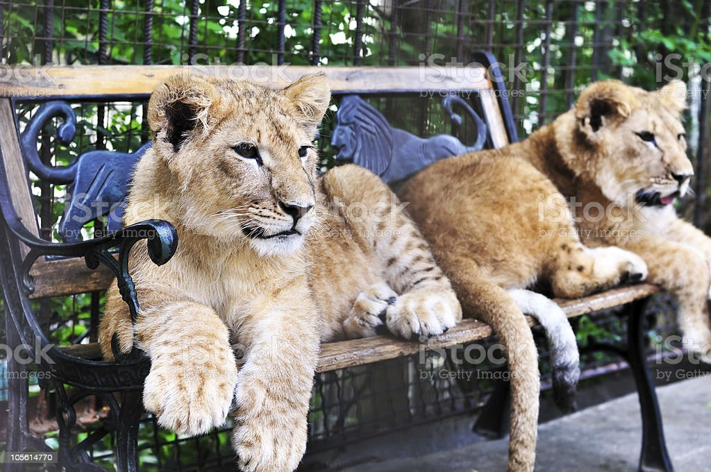 two lion cubs royalty-free stock photo