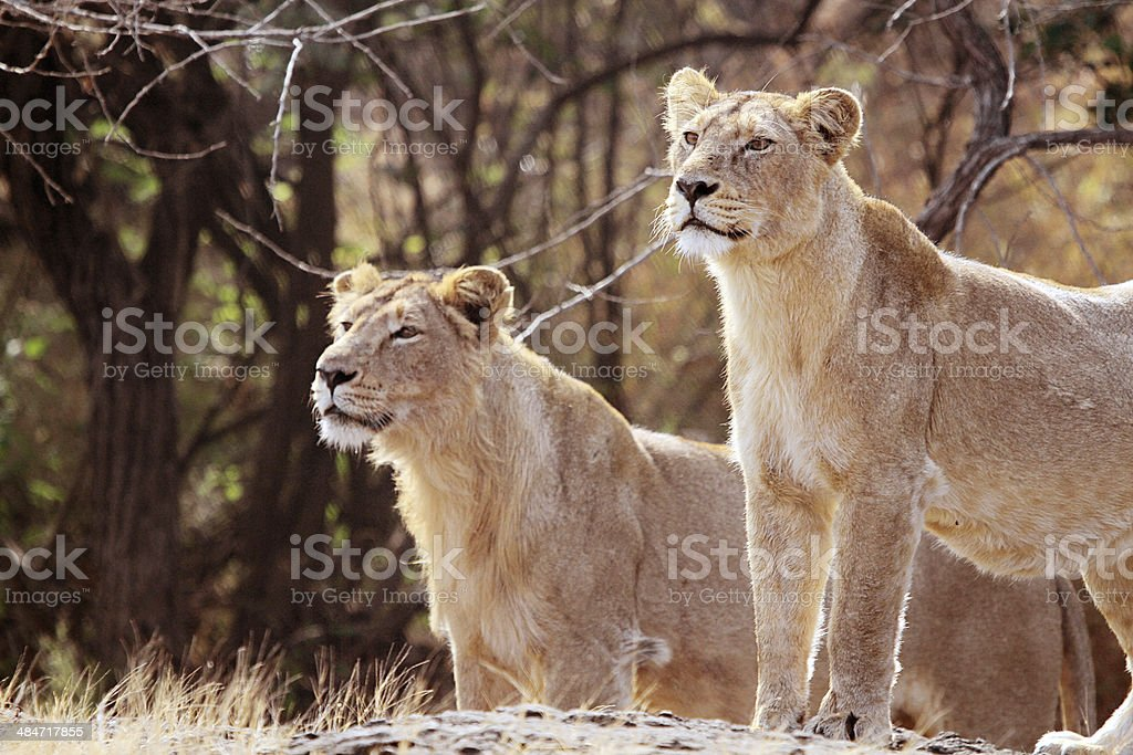 Two Lioness Found Ready to Attack stock photo