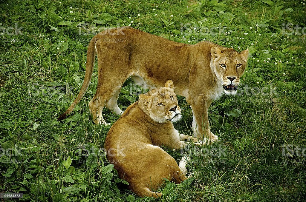 Two lionesses. stock photo