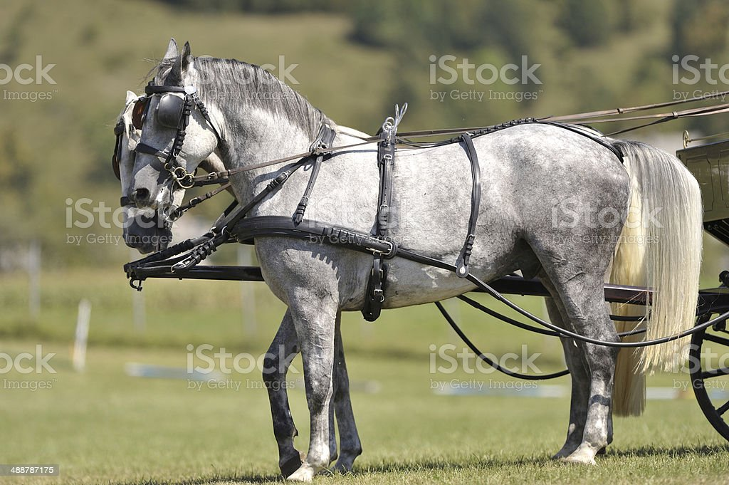 Two Lipizzaners Carriage Horses royalty-free stock photo