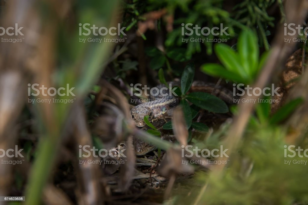 two litle lizards playin stock photo