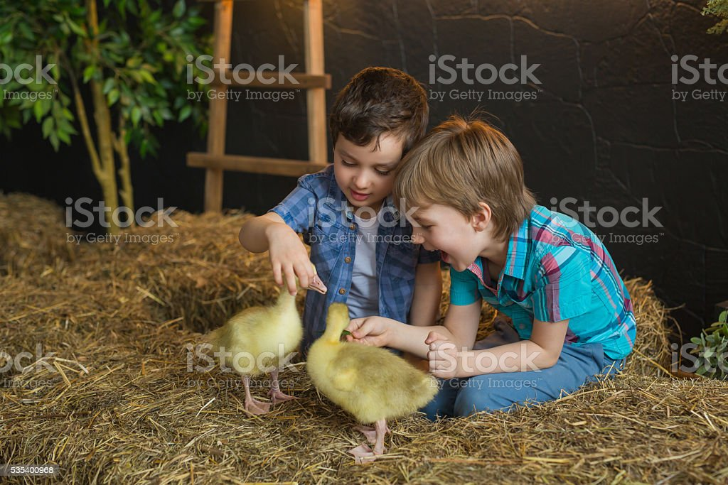 Two little boys try to feed a goslings in farm stock photo