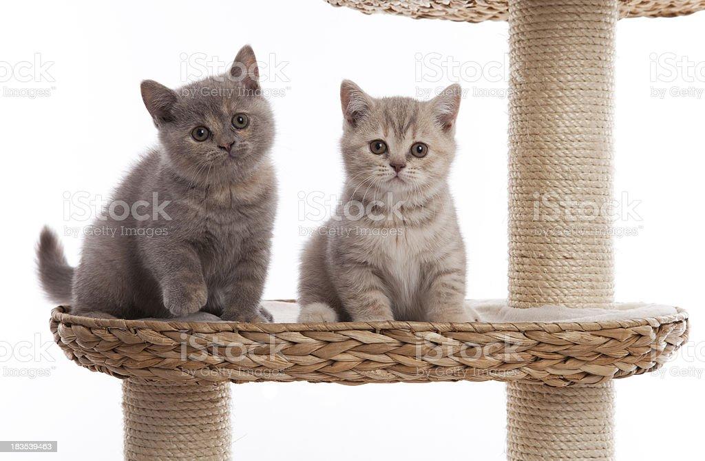 Two little british shorthair kittens stock photo