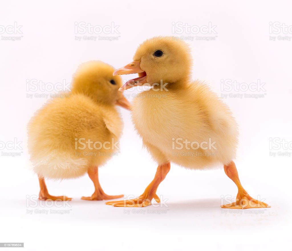 Two little duckling stock photo