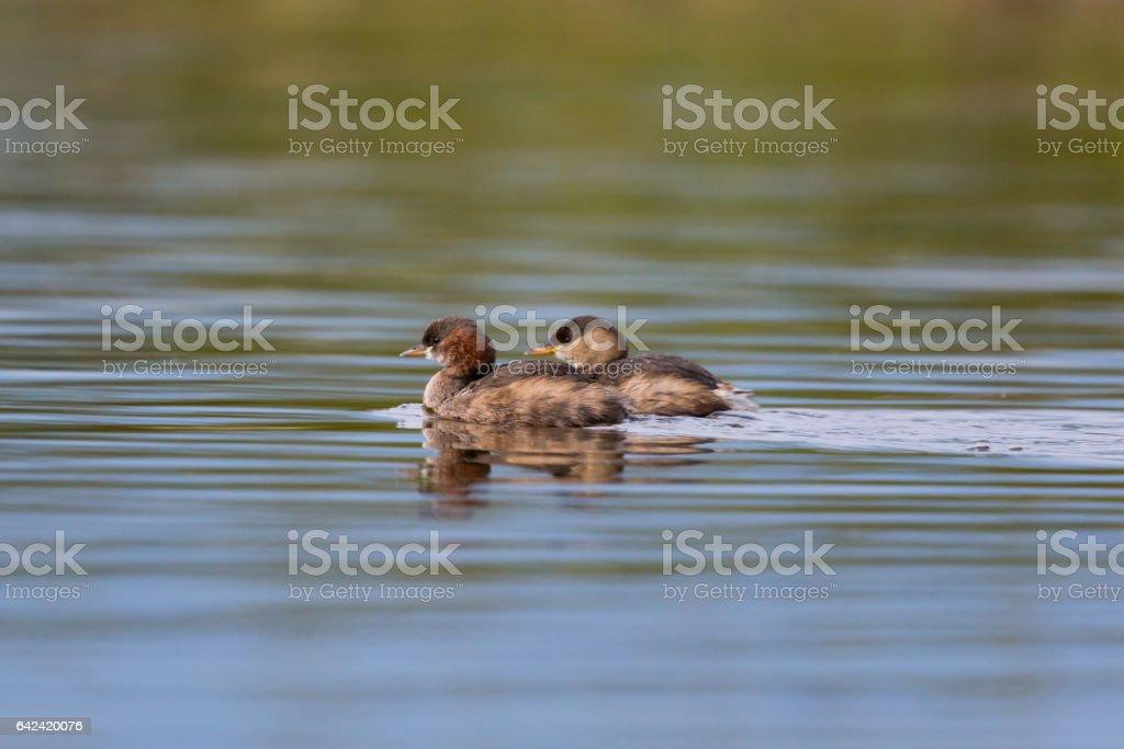 two little grebes (Tachybaptus ruficollis) swimming stock photo
