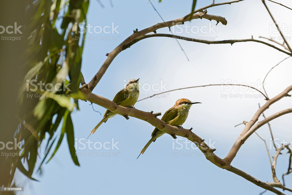 Two Little Green Bee-eater birds perching on tree branch stock photo