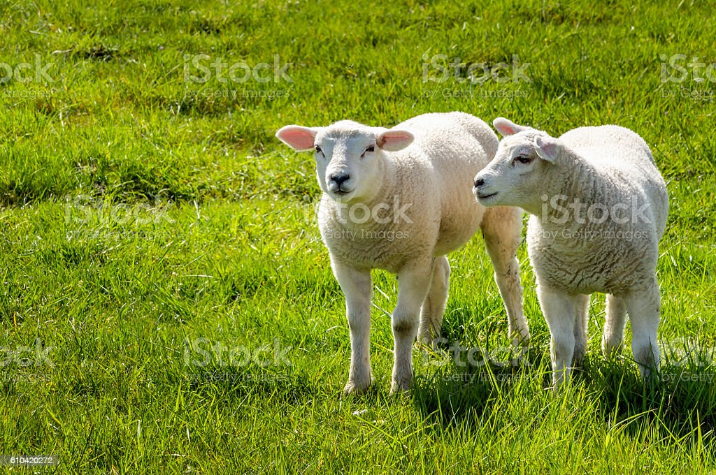Two little lambs standing in a fresh meadow stock photo