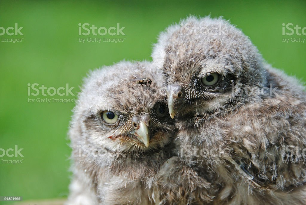 Two little owls stock photo