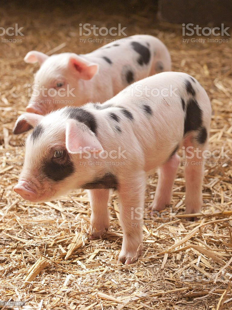 Two little pigs royalty-free stock photo