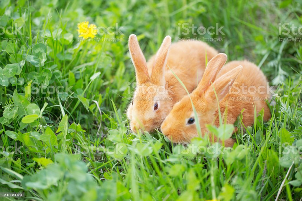 two little rabbits outdoor stock photo