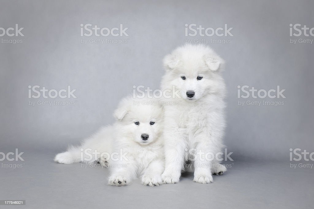 Two little Samoyed  puppies portrait royalty-free stock photo