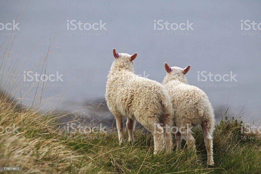 Two little sheep on coast stock photo