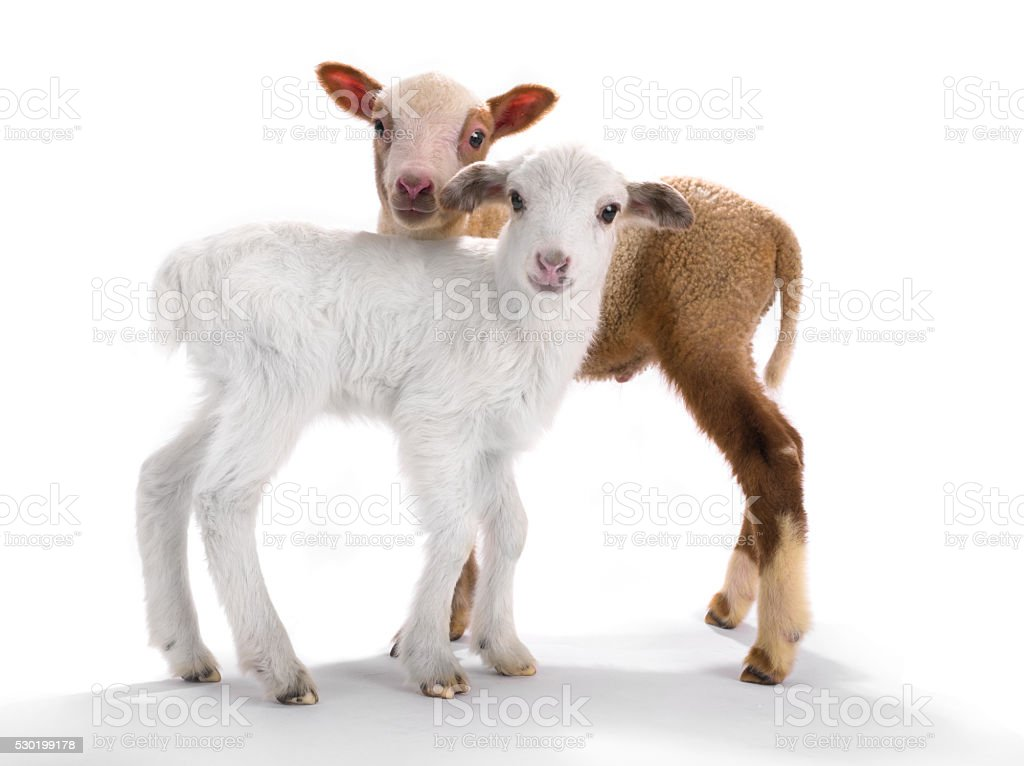 two little sheep stock photo