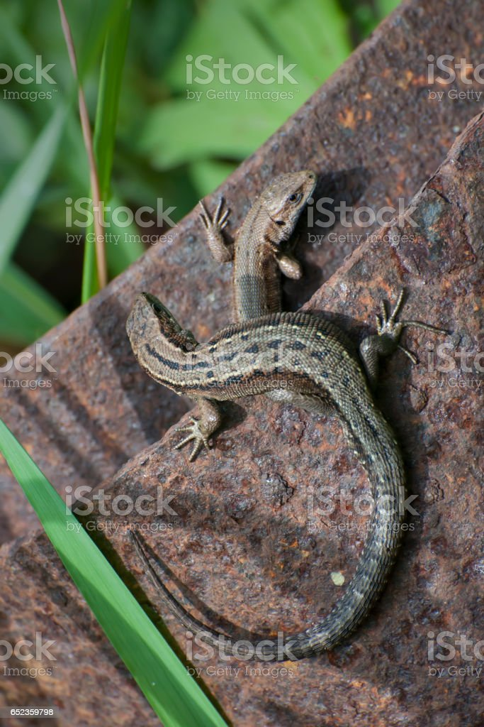 Two lizard on the old iron structure stock photo