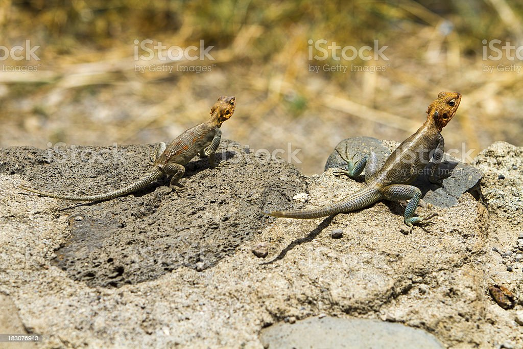 Two lizards sunning stock photo