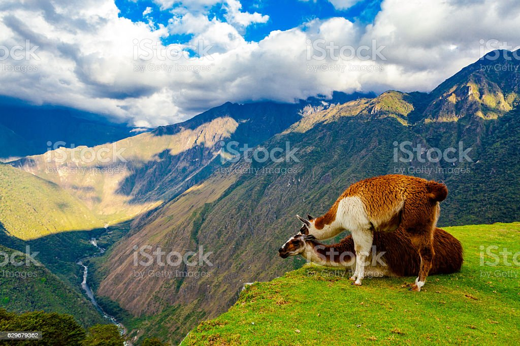 Two Llamas on a Cliff in the Andes Mountains, Peru stock photo