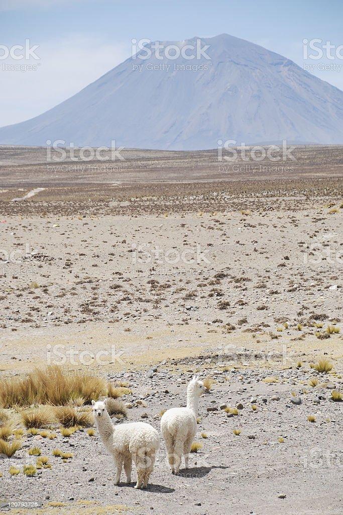 Two Llamas royalty-free stock photo