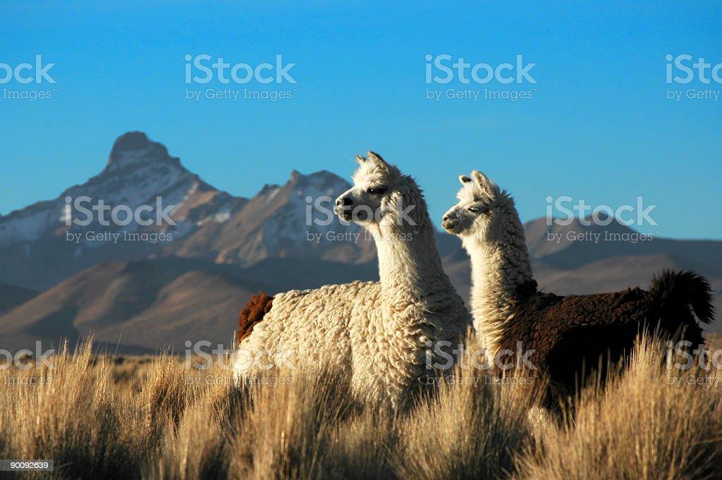 Two Llamas stock photo