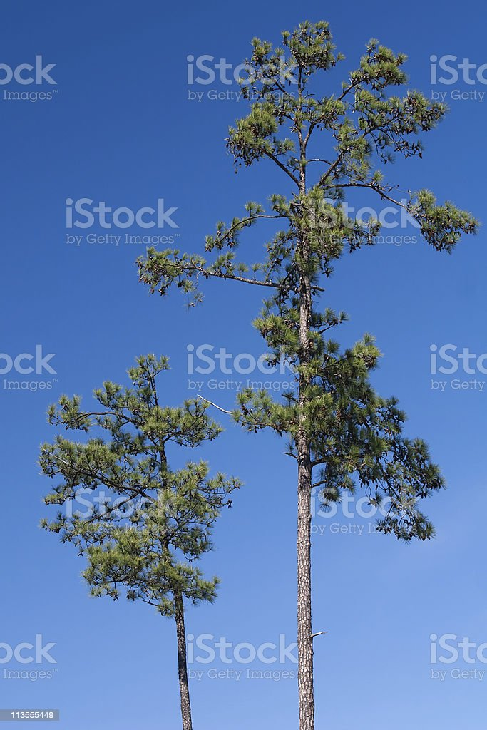 Two Loblolly Pine Trees stock photo