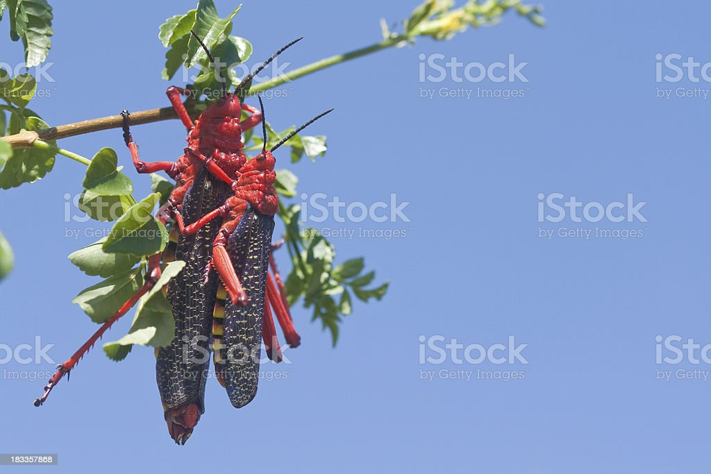 Two locusts on a green stem royalty-free stock photo