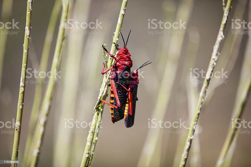 two locusts royalty-free stock photo